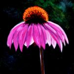 Echinacea 2017 (sold)