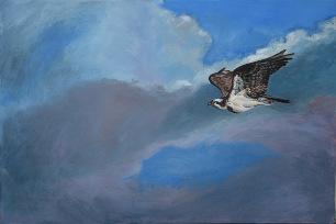 Osprey_gliding